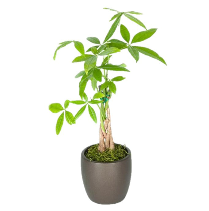 "Pachira Braid ""Money Tree""  (4 Inch)"