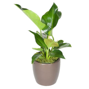 Philodendron Congo Green (10 Inch)