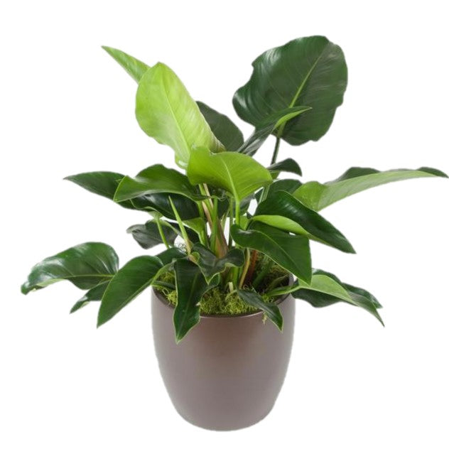 Philodendron Congo Green (6 Inch)