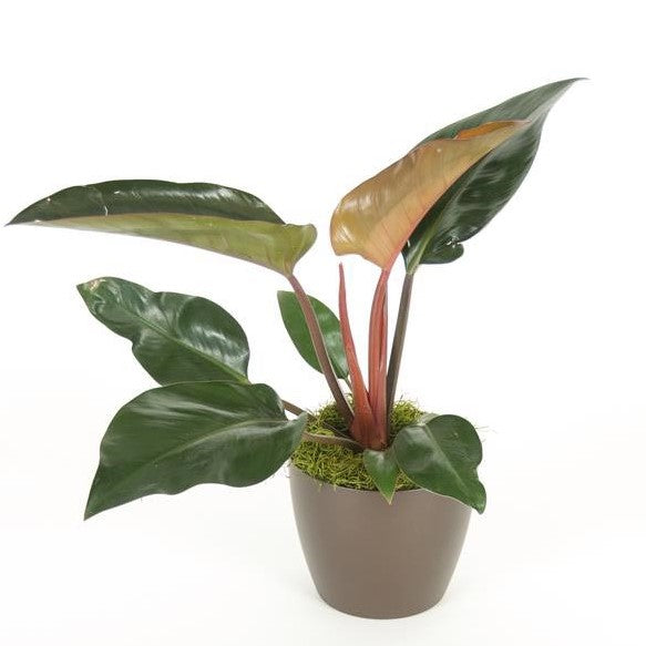Philodendron Congo Rojo (6 Inch)