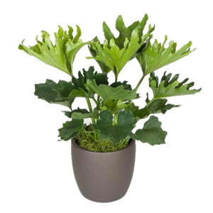 Philodendron Hope (10 Inch)