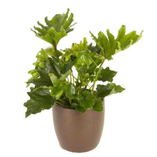 Philodendron Hope (6 Inch)