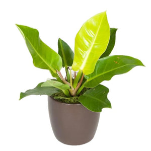 Philodendron Moonlight (6 Inch)