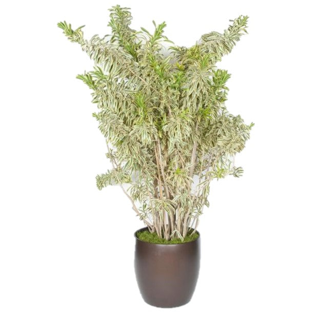 Pleomile Song Of India (14 Inch)