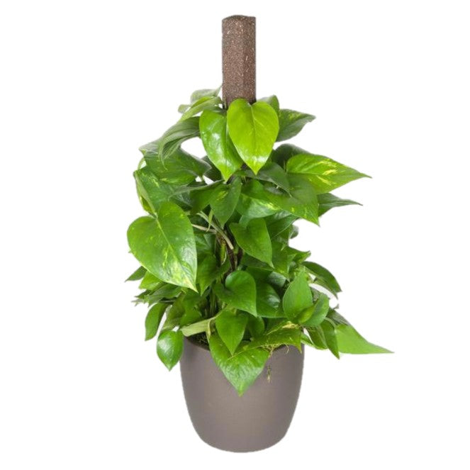 Pothos Golden On A Pole (6 Inch)