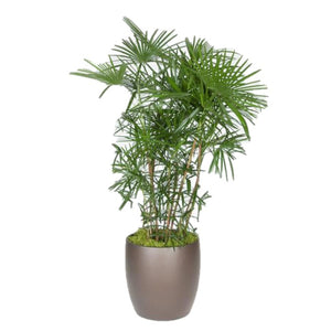 Rhapis Humilis Or Multifida Palm  (5 gal)