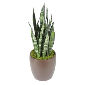 Sansevieria Black Coral (10 Inch)