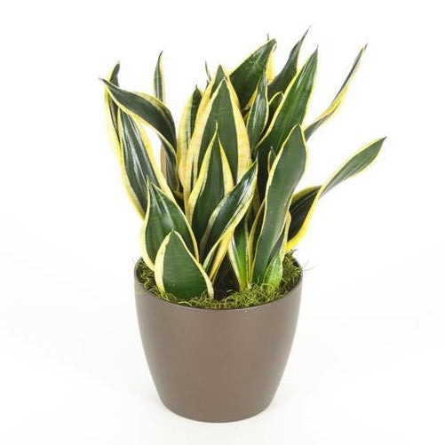 Sansevieria Black Gold Superba (6 Inch)