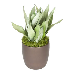 Sansevieria Moonshine (8 Inch)