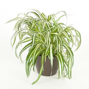 Spider Plant Variegated (6 Inch)