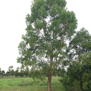 Acacia melanoxylon - Blackwood