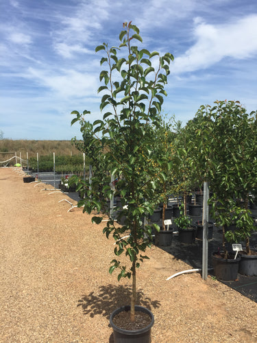 Pyrus calleryana 'Cleveland Select' - Ornamental Pear