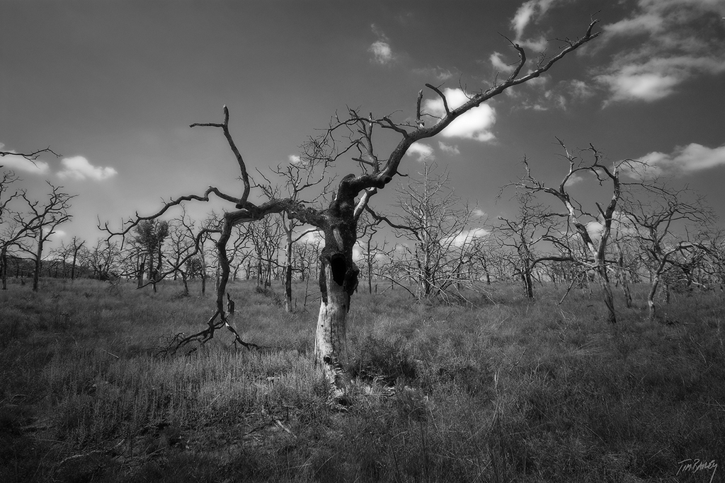Burned Orchard - black and white dark nature photograph