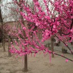 Beautiful pink blossom in the grounds of our Beijing supplier's factory