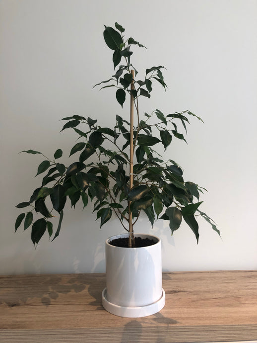 Ficus Danielle plant in white ceramic pot