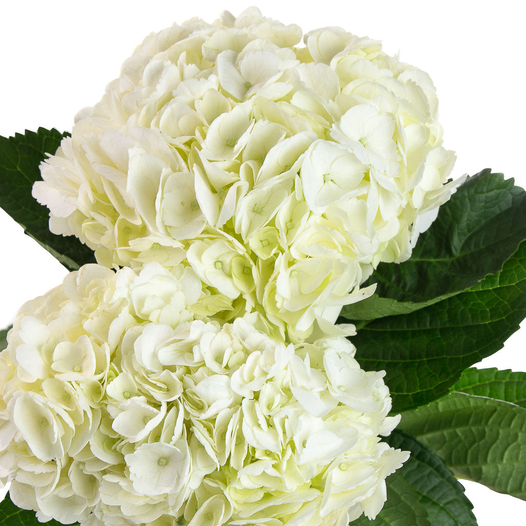 Hortensia blanc (5 tiges)