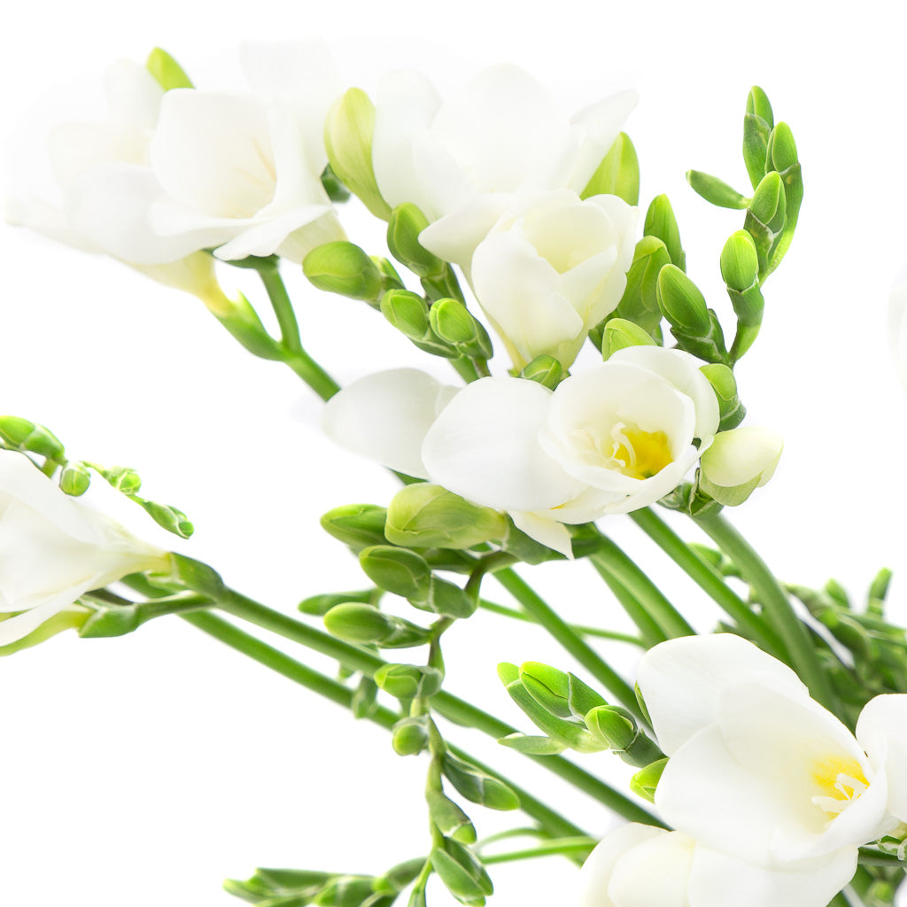 Freesia blanc (20 tiges)