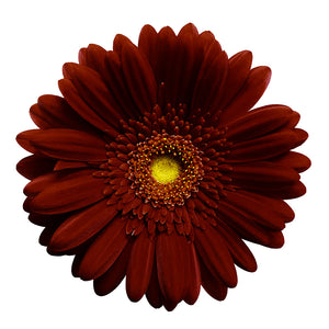 Gerbera bordeaux (10 tiges)
