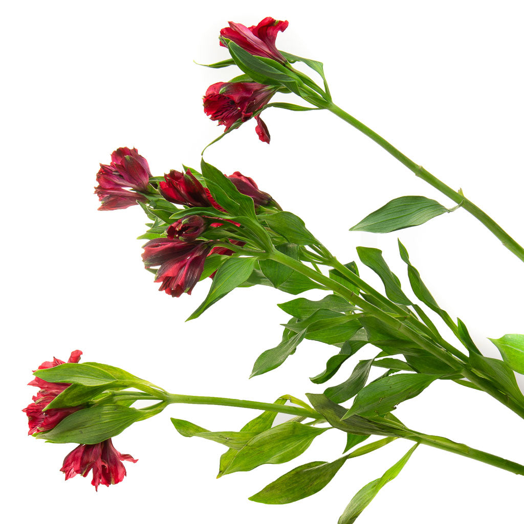 Alstroemeria rouge (10 tiges)