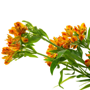 Alstroemeria orange (10 tiges)