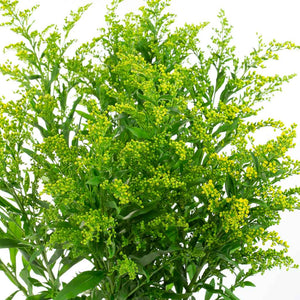 Solidago (10 tiges)