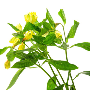 Alstroemeria jaune (10 tiges)
