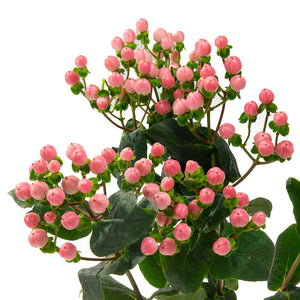 Hypericum rose (10 tiges)
