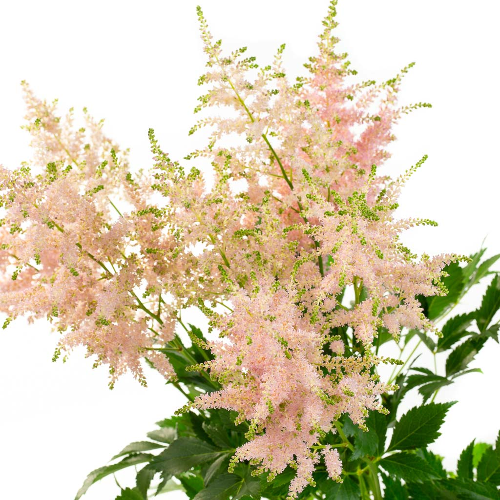 Astilbe rose (10 tiges)
