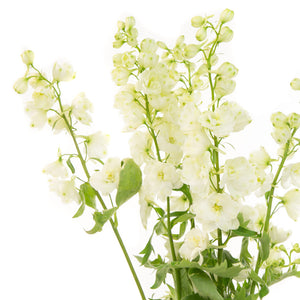 Delphinium blanc (10 tiges)