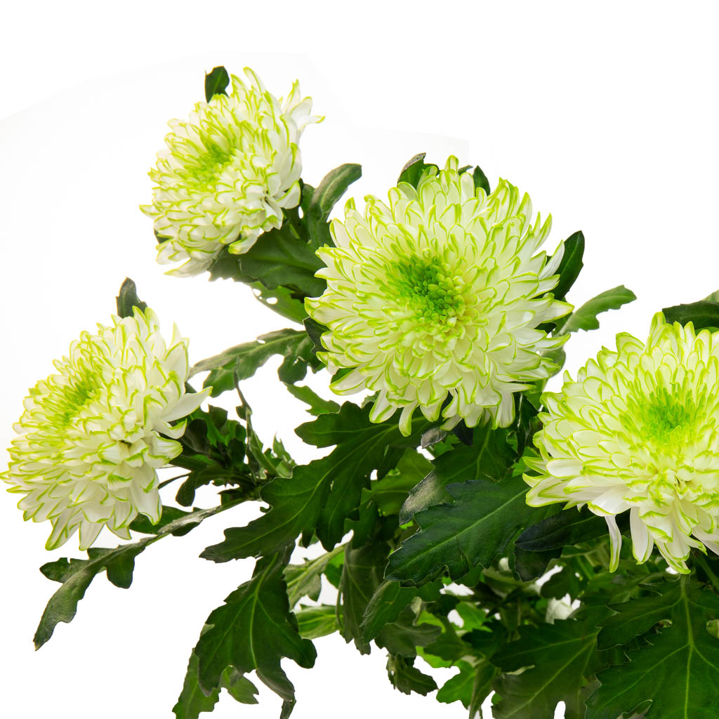 Chrysantheme Zembla Lime (10 tiges)
