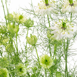 Nigelle blanche (10 tiges)