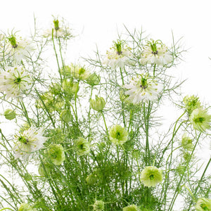 Nigelle (10 tiges)