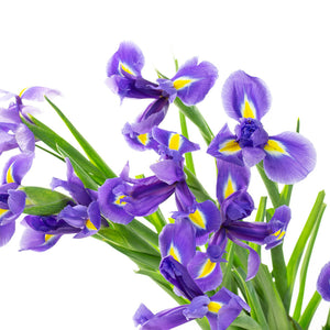 Iris bleu (10 tiges)
