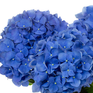 Hortensia bleu (5 tiges)