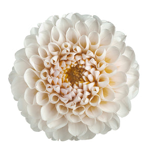 Dahlia Pompon blanc (10 tiges)