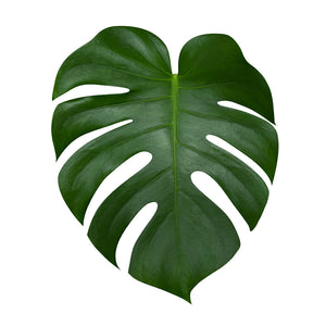 Philodendron Monstera (5 tiges)
