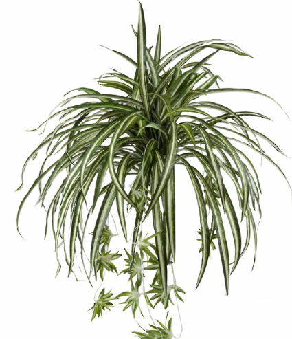 Rogue - Spider Plant (Medium)