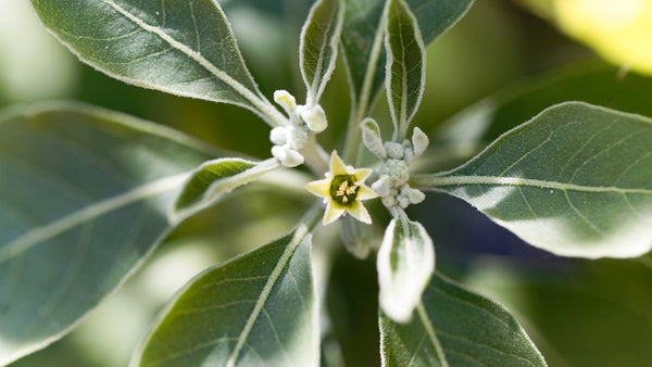 Get to know your herbs - Ashwagandha