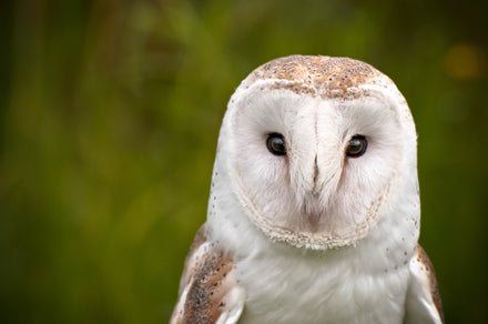How to attract barn owls to your property