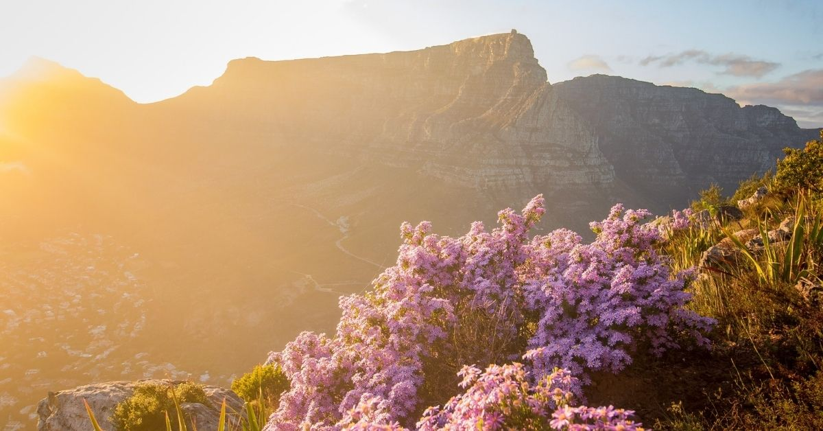 wildflowers and table mountain in cape town