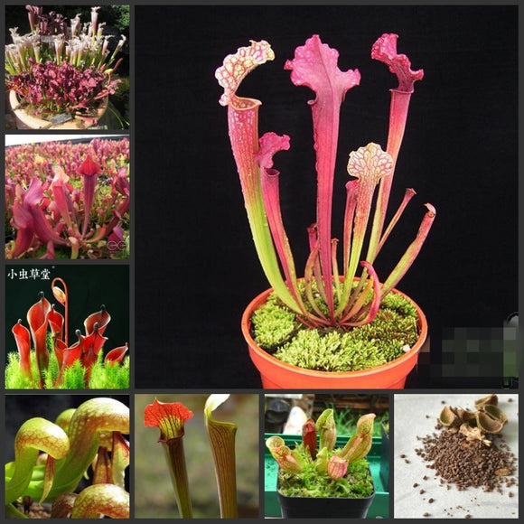 Fresh Real Sarracenia purpurea Semillas MIX - Bonsai Succulent Plant sementes (Ping-zi-cao)