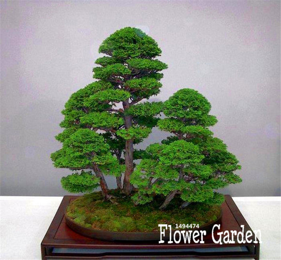 Best-Selling!50 Pieces/Pack juniper bonsai tree potted flowers office bonsai purify the air