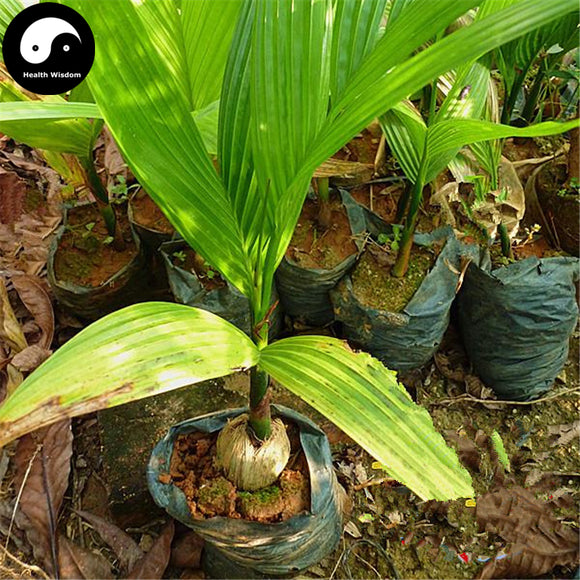 Buy Areca Catechu Tree Semente 3pcs Plant Chinese Evergreen Tree Betel Nut