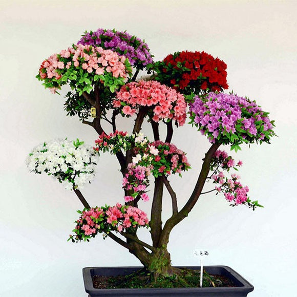 bonsai Japanese Sakura   Bonsai Flower Cherry   Blossoms Cherry Tree Ornamental Plant 10seeds/pack Home Garden