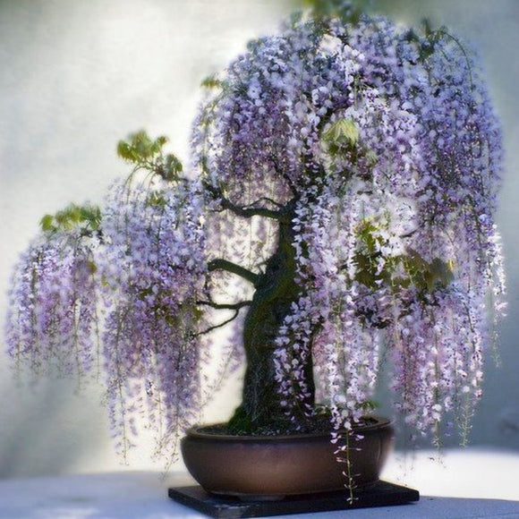 New Hot Sale 10seeds/Pack Bonsai Wisteria   Courtyard Home Garden Flowers