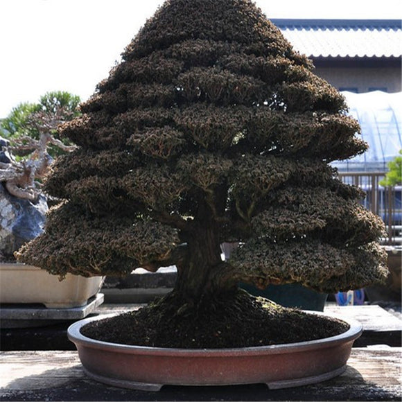 Cypress bonsai Tree,Home gardening DIY Free shipping - 5 pcs / lot
