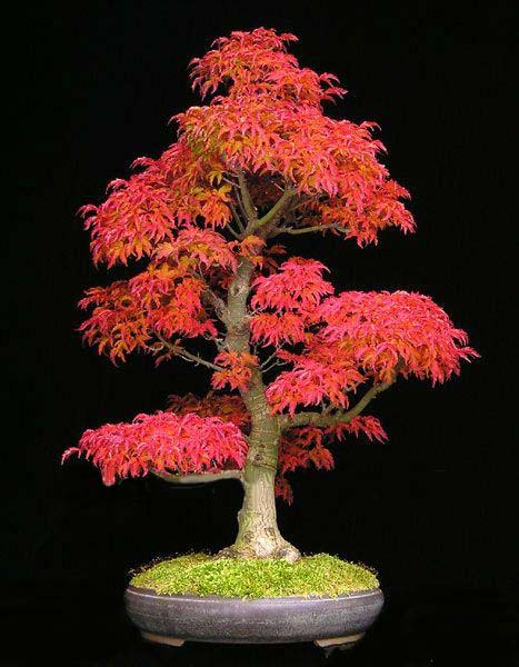 bonsai 30pcsseeds/pack Mini Beautiful Red Maple Bonsai   Diy Bonsai Maple Tree