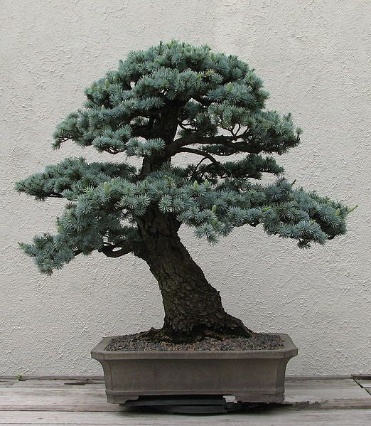 bonsai Cedrus Deodara  Conifer Indoor Plant Bonsai Tree  Light Blue Deodara Cedar   10pcsseeds/bag