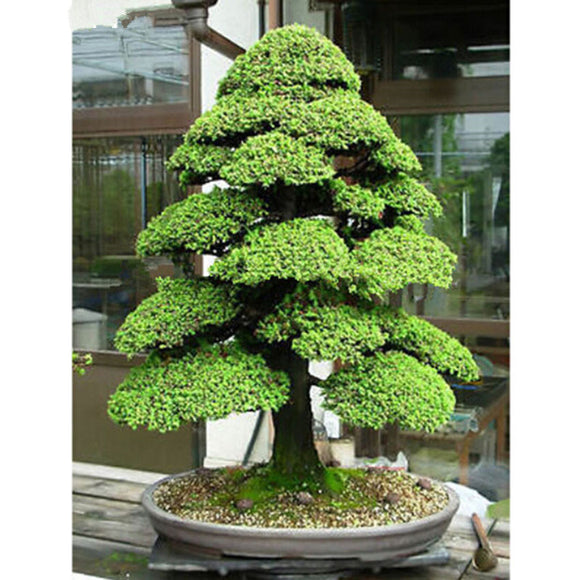 bonsai 10seeds/pack Cedar Tree   Cedrus Bonsai Bonsai Diy Home Garden Plant