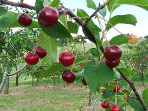 Visciole sour cherries growing in the orchard
